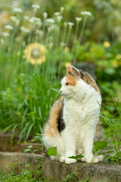 Calico Cat in the yard | Sidewalk Shoes