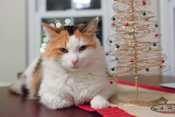 Calico Cat by Christmas Tree #feastivities