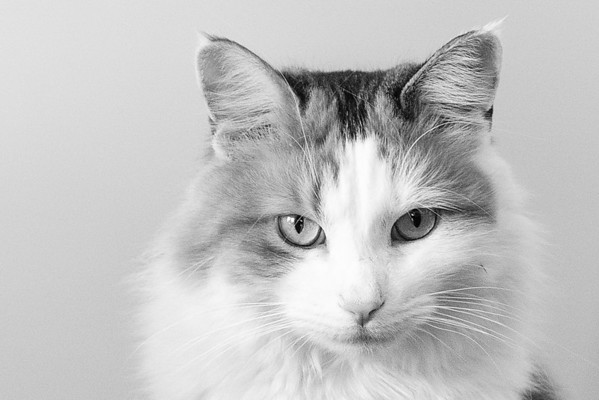 Calico cat in black and white