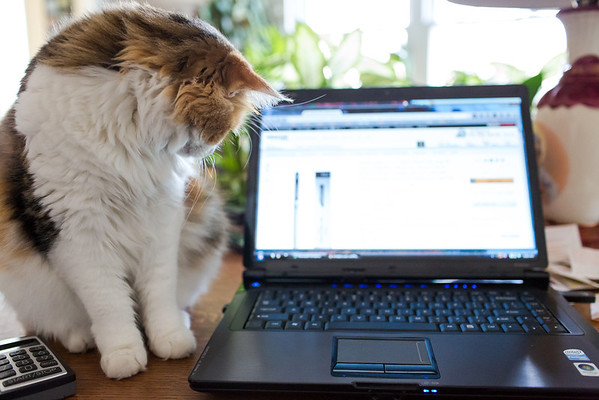 Calico cat with laptop