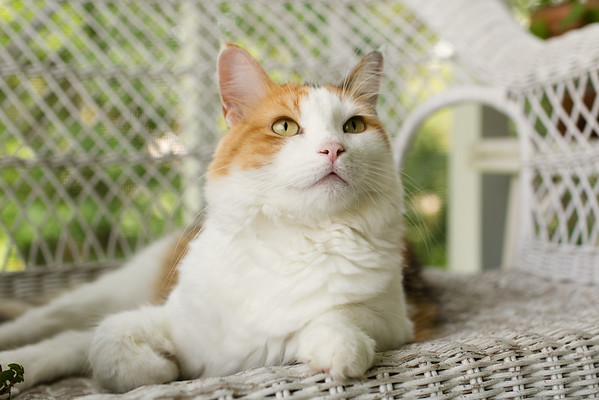 Calico cat on wicker couch   Sidewalk Shoes