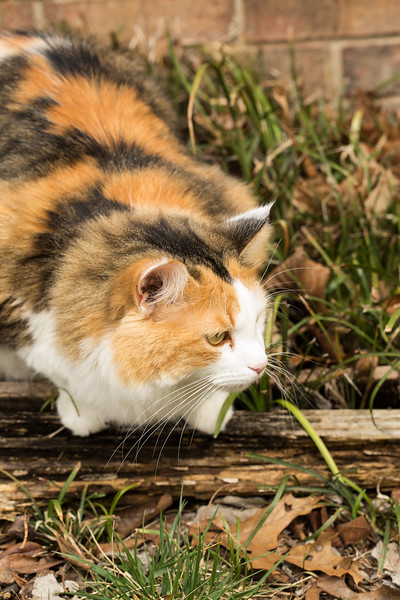 Calico cat in the yard.