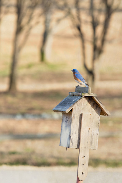bluebird on house textured