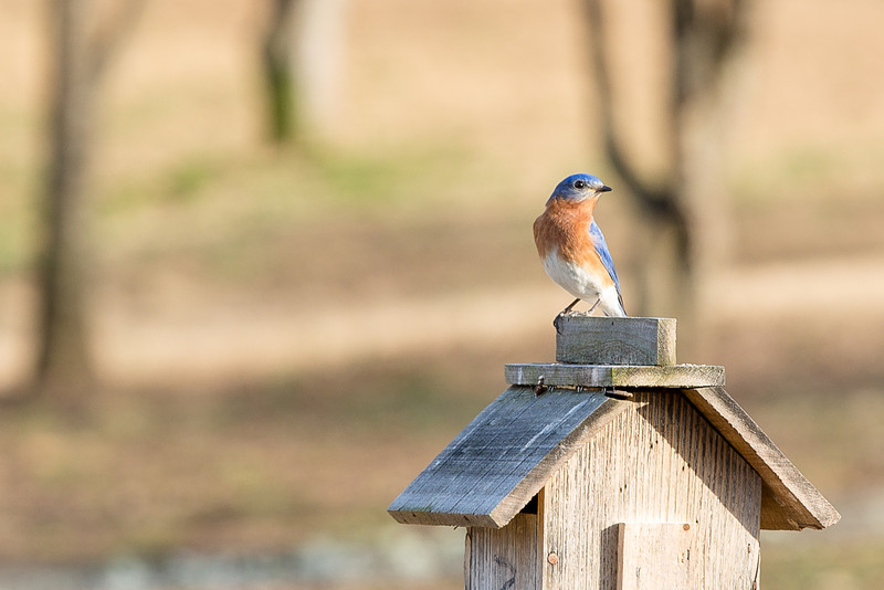 Bluebird on it's house