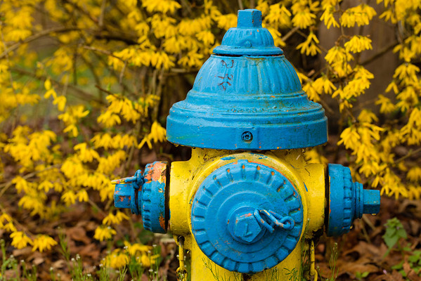 Yellow and blue fire hydrant in front of forsythia