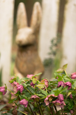 Bunny and lenten rose