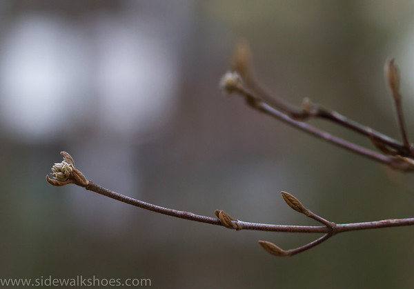 Korean Spicebush Bud