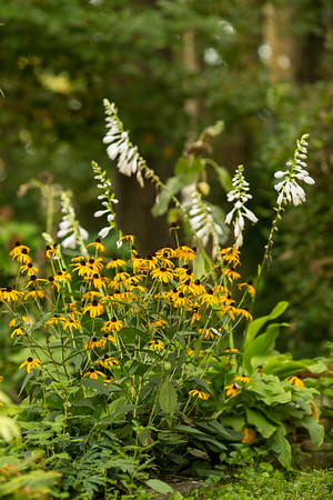 Hosta Flowers and Black-eyed Susans | Sidewalk Shoes