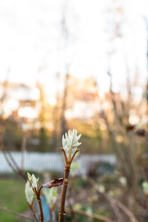 Oakleaf hydrangea in the spring