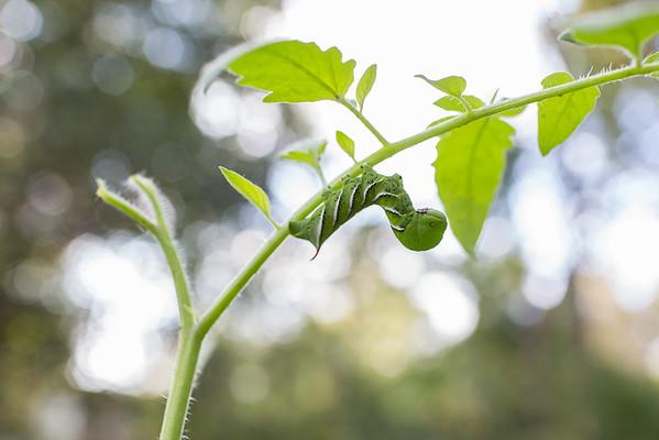 tomato hornworm on tomato plant