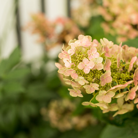 Oakleaf hydrangea in it's rosy pink phase