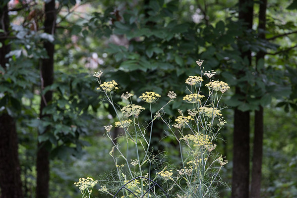 Fennel blossoms