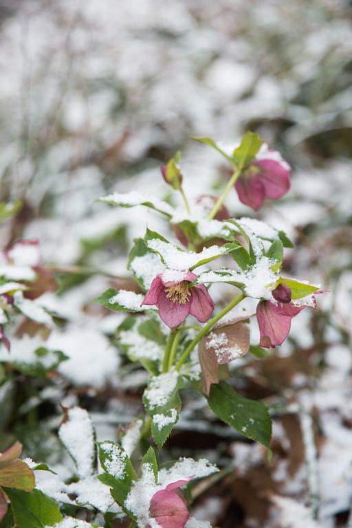 Lenten Rose in Snow