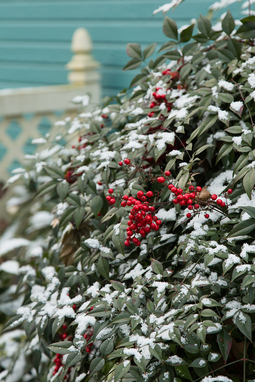 Nandina with snow