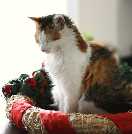 Calico cat in Christmas wreath #feastivities