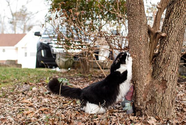 Tuxedo cat sharpening claws on tree