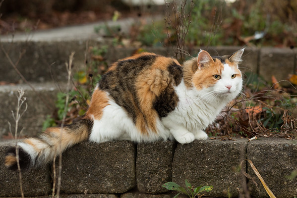 Calico cat outside.