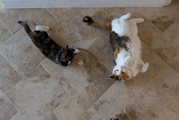 Calico kitties playing
