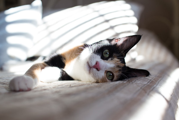 Calico kitten on bed