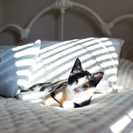 Calico kitten in blind lights