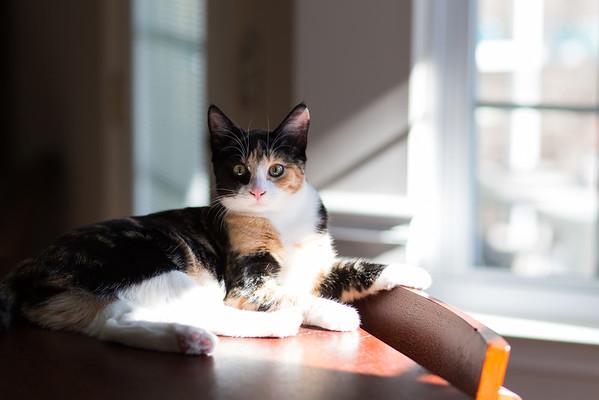 Calico kitten in the sunshine