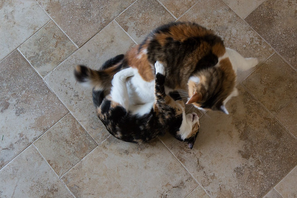 Calico cat and kitten playing