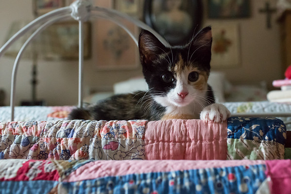 Luxie kitten on the quilts