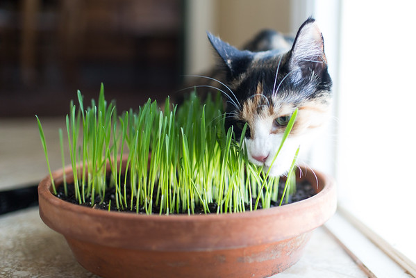 cat eating her very own cat grass