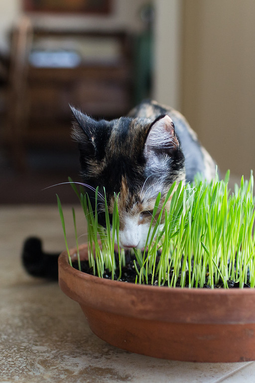 Growing cat grass for indoor cats
