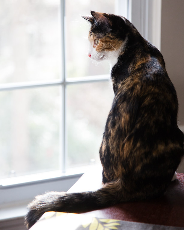 Luxie, the calico cat, watching out the window.