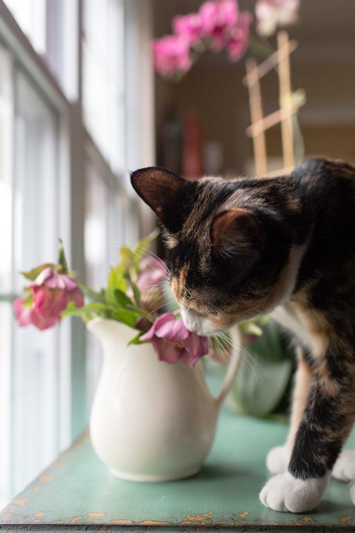 Photobombing cat with Lenten Rose