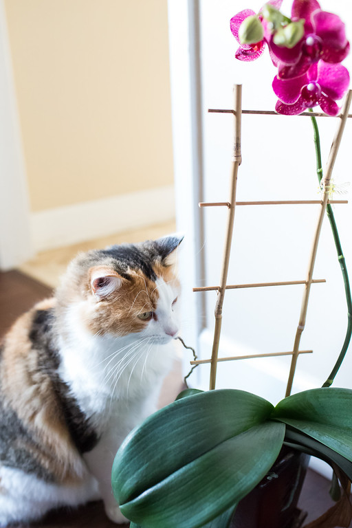 Calico cat and Orchid