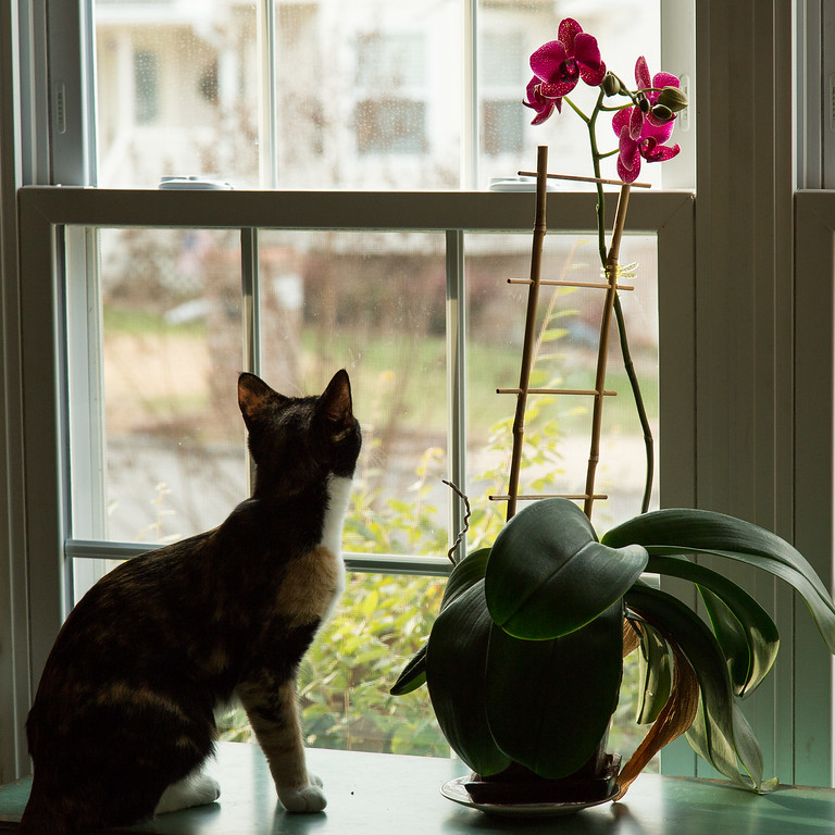Cat looking out the window with an orchid