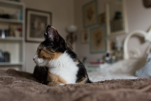 Calico kitten on the bed