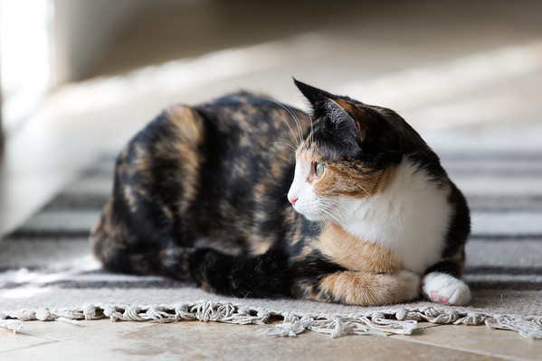Calico kitten looking out the window.