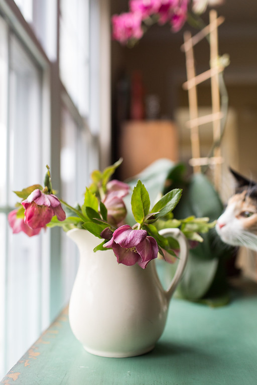 Lenten Rose with Photobombing Cat