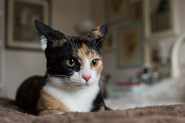Calico cat with ears back