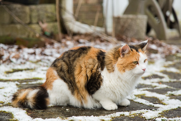 Calico cat Coco in the snow.