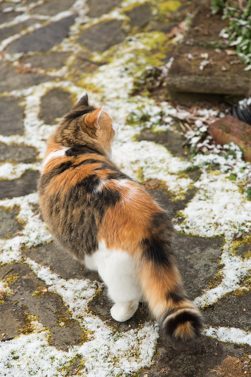 Calico cat Coco in the snow