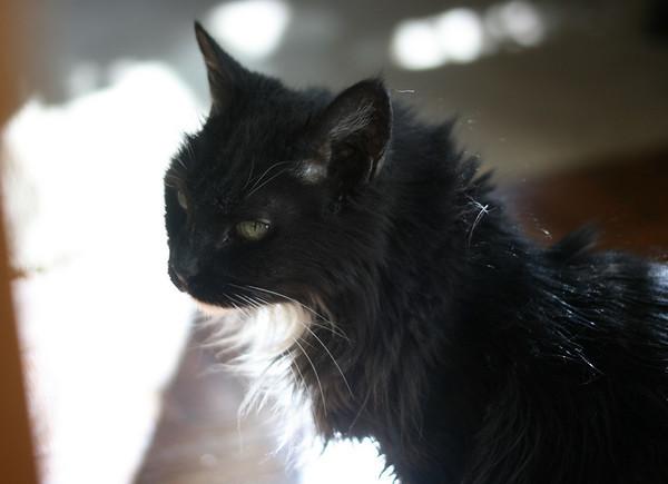 Senior cat Scrappycat