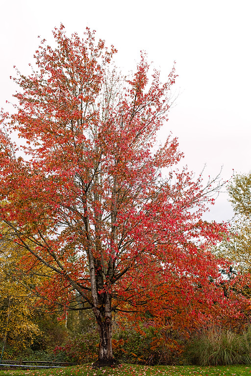 Tree with red leaves   Pamela Greer Photography